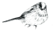 Long tailed tit illustration